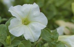 Белый цветок Axillaris петуньи Стоковая Фотография RF