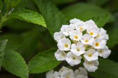 Белый цветок camara lantana Стоковое Изображение