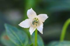 Белый цветок chili в саде Стоковые Изображения RF
