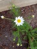Белый цветок chrysanthymum Стоковые Изображения RF