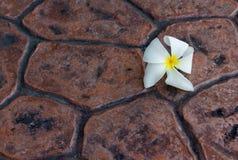Белый цветок frangipani на конкретной предпосылке Стоковые Изображения RF