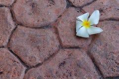 Белый цветок frangipani на конкретной предпосылке Стоковая Фотография RF