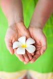 Белый цветок frangipani стоковые фотографии rf