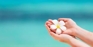 Белый цветок frangipani стоковое изображение