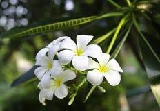 Белый цветок Frangipani Стоковая Фотография RF