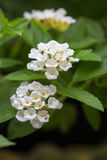 Белый цветок lantana Стоковое фото RF