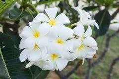 Белый цветок lelawadee Стоковое Изображение