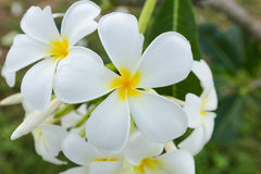Белый цветок lelawadee Стоковые Изображения RF