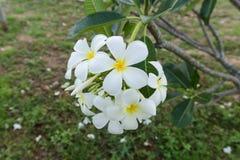 Белый цветок lelawadee Стоковое Фото