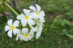 Белый цветок lelawadee Стоковое Изображение RF