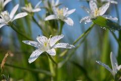 Белый цветок Milchstern Стоковые Изображения RF