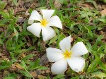Белый цветок plumeria на зеленой траве Стоковые Изображения