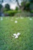 Белый цветок plumeria падая от дерева на зеленой траве Стоковые Изображения RF