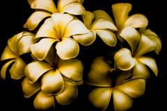 Белый цветок Plumeria Стоковые Изображения RF