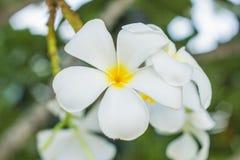 Белый цветок Plumeria Стоковое Изображение RF