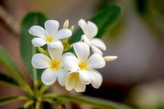 Белый цветок Plumeria Стоковые Изображения