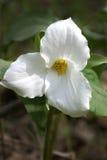 Белый цветок Trillium Стоковые Фото