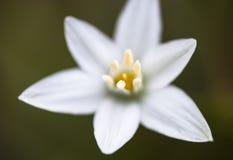 Белый цветок umbellatum Ornithogalum Стоковое Фото