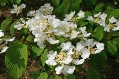 Белый цветя кустарник Стоковое Изображение RF