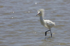 Белый цвет Morph рыжеватого Egret фуражируя в отмелом заливе Стоковая Фотография
