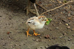 Белый цыпленок идя вокруг смотреть милый Стоковое Фото