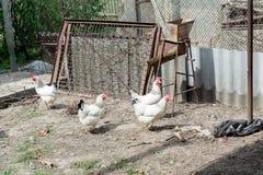 Белый цыпленок идя на курятник весной Сельское хозяйство орнитология Двор птицы стоковое фото