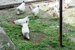 Белый цыпленок идя на курятник весной Сельское хозяйство орнитология Двор птицы стоковые изображения rf