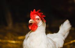 Белый цыпленок смотря из амбара стоковое фото