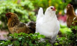 Белый цыпленок стоит вне от остатков Стоковое Изображение
