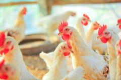 Белый цыпленок Стоковая Фотография