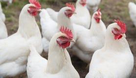 Белый цыпленок стоковые фотографии rf