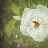 Белый чай Роза Стоковое фото RF