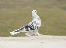 Белый черный голубь Стоковая Фотография