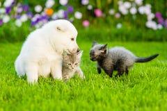 Белый швейцарский щенок ` s чабана и 2 котят играя совместно на зеленой траве Стоковое Изображение