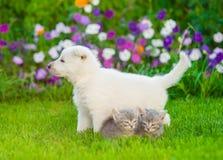 Белый швейцарский щенок ` s чабана и 2 котят на зеленой траве Стоковое Изображение RF