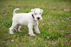 Белый щенок миниатюрного шнауцера стоковое изображение