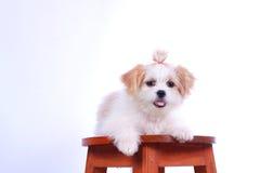 Белый щенок пуделя. изолированный на белой предпосылке Стоковое Изображение