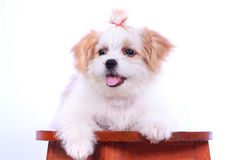 Белый щенок пуделя. изолированный на белой предпосылке Стоковые Фотографии RF