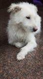 Белый щенок Стоковая Фотография RF