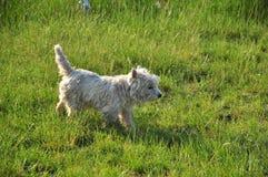 Белый щенок Стоковые Фотографии RF
