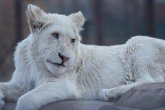 Белый львев Cub Стоковая Фотография