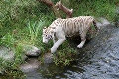 Белый Bengalese тигр идет на побережье озера. Стоковые Фото