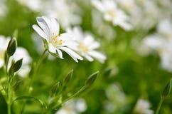 Белый blossoming цветок Стоковая Фотография