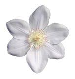 белый clematis Стоковое Фото