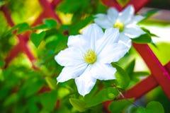 белый clematis Стоковые Изображения RF