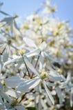 белый clematis Стоковые Фото