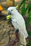Белый Cockatoo Стоковая Фотография