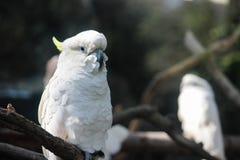 Белый Cockatoo Стоковое Изображение