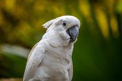 Белый Cockatoo Стоковые Фотографии RF
