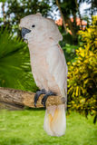 Белый Cockatoo Стоковое Фото